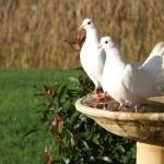 Pigeon download