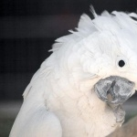 Umbrella Cockatoo new wallpapers