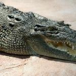 Crocodile free
