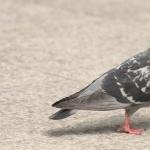 Pigeon 1080p