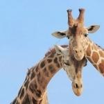 Giraffe 1080p