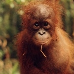 Orangutan desktop wallpaper