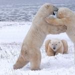 Polar Bears 1080p