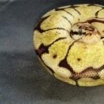 Ball Python pic