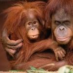 Orangutan hd