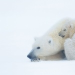 Polar Bears free download