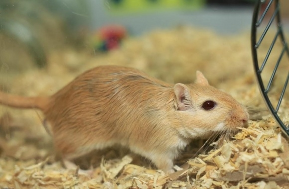 Gerbil wallpapers high quality