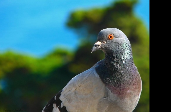 Pigeon wallpapers high quality