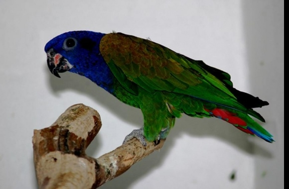 Pionus Parrot wallpapers high quality
