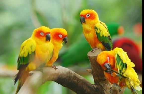 Sun Conure wallpapers high quality