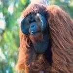 Orangutan 1080p