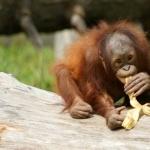 Orangutan background