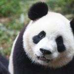 Pandas pic