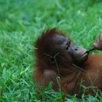 Orangutan breed