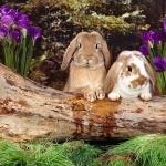 Bunnies desktop wallpaper