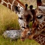 Giraffe new wallpaper