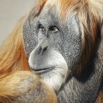 Orangutan hd pics