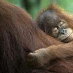Orangutan cute
