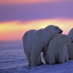 Polar Bears images