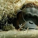 Orangutan new photos