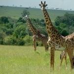 Giraffe 2016
