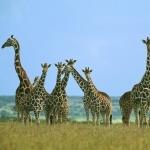 Giraffe free