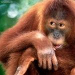 Orangutan funny