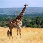 Giraffe widescreen