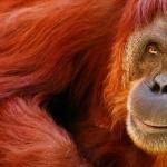 Orangutan images