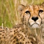 Cheetah pic