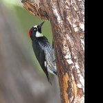 Acorn Woodpecker new photos