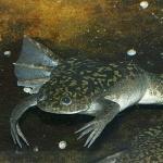 African Dwarf Frog breed