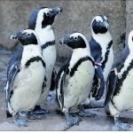 African Penguin download