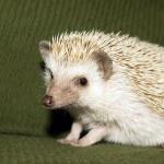 African Pygmy Hedgehog hd