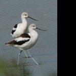 American Avocet wallpaper