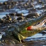 American Crocodile hd desktop