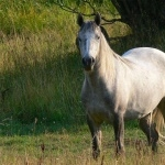 American Quarter Horse wallpapers for desktop