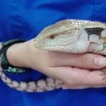 Blue-tongued Skink photo