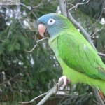 Blue Crown Conure high definition wallpapers