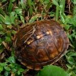 Box Turtle desktop