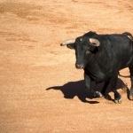 Bull desktop wallpaper