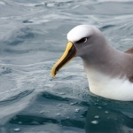 Campbell Albatross photo