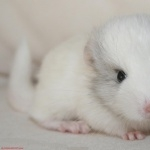 Chinchilla pics