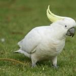 Cockatoo full hd
