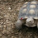 Desert Tortoise pic