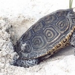 Diamondback Terrapin wallpapers hd