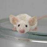 Dumbo Rat free