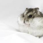 Dwarf Hamster pics