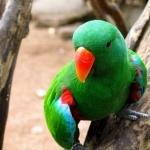 Eclectus Parrot desktop wallpaper