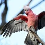 Galah Cockatoo images